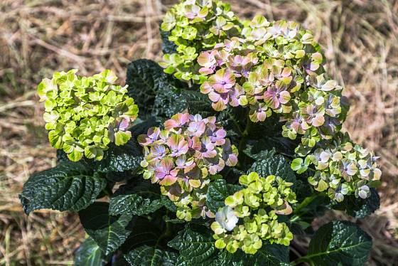 Hortenzie velikolistá (hydrangea mocrophylla), kultivar Hydrangea macrophylla Magical Amethyst.