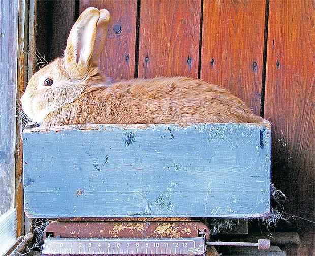 Hmotnost výstavního burgundského králíka musí být mezi 4–5 kg