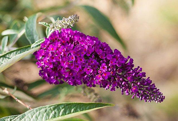 Květenství komule Davidovy je složené z mnoha drobných kvítků
