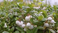 Libavky mohou mít bílé, růžové nebo červené plody