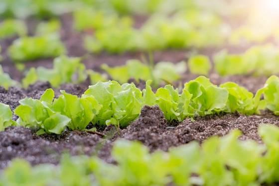 Saláty rostou rychle a nejsou náročné na teplo