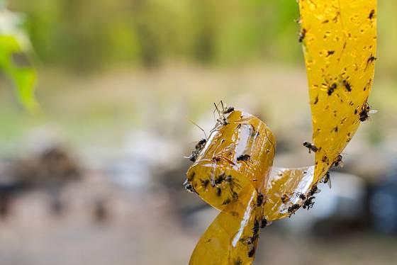 Klasická mucholapka se stále těší oblibě.