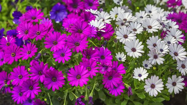 Záplava nádherných květů různých barev, to je dvoutvárka.