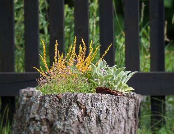 Starý pařez snadno proměníme v atraktivní nádobu na květiny.