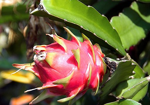 květ a plod pitahaye