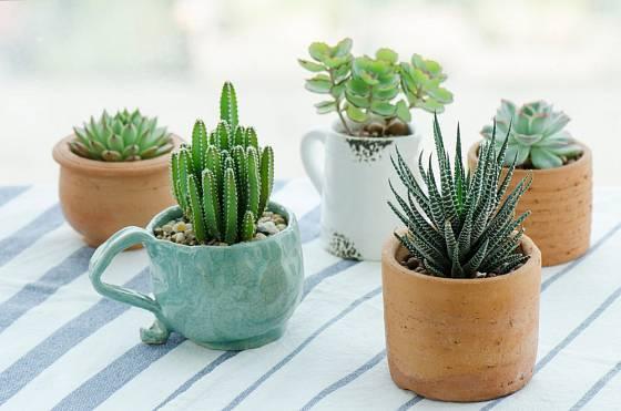 Pěstování kaktusů umožňuje různé experimenty s rostlinami.