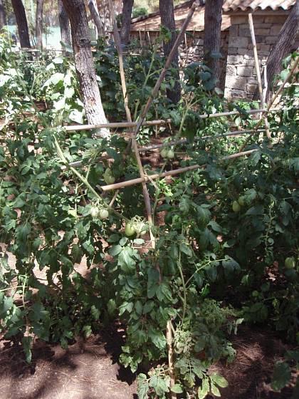 Konstrukce pro rajčata pěstovaná na víc výhonů