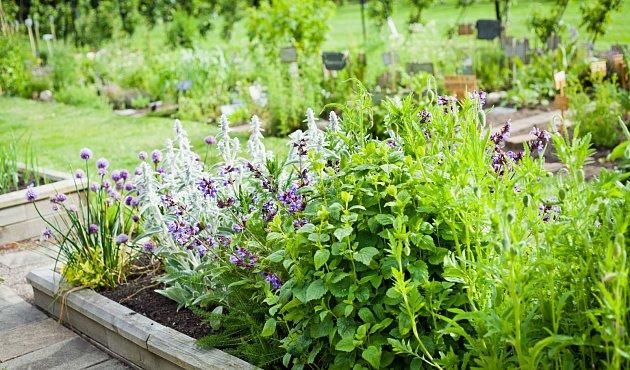 Některé bylinky se doporučuje vysazovat současně a společně, protože se jejich vlastnosti mohou vhodně kombinovat