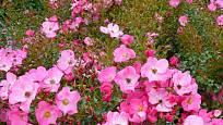 Růže odrůdy Fortuna