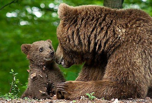 medvíďata přicházejí na svět uprostřed zimy