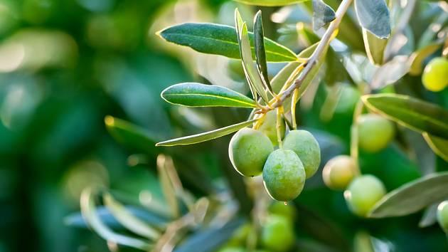 Olivovník evropský (Olea europaea) - větvička s mladými plody.