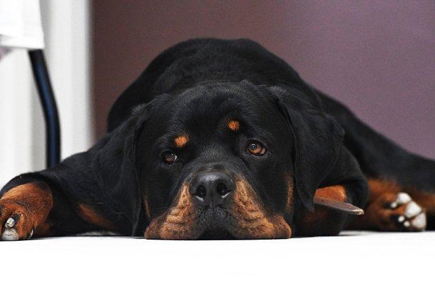 I u nás, nejen v Německu, patří rotvajleři k velmi oblíbeným psům.