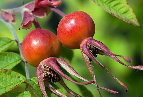 Růže dužnoplodá (Rosa villosa L.)
