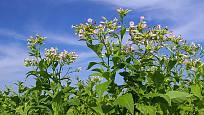 tabák viržinský (Nicotiana tabacum)