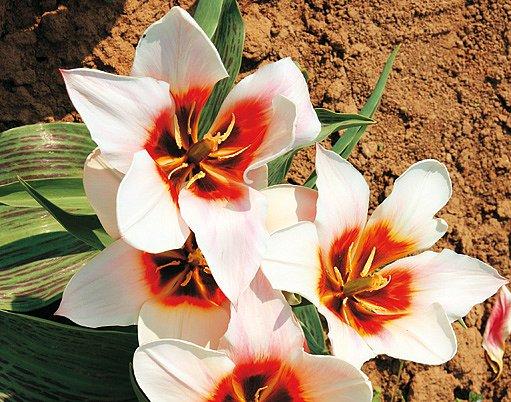 tulipány China-Lady