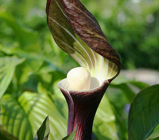 zmijovec Arisaema sikokianum je jedním z nejkrásnějších a nejvyhledávanějších áronovců