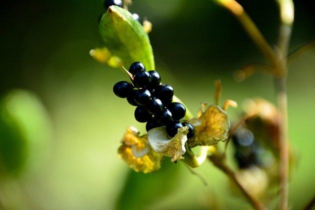 V dobrých podmínkách angínovník nejen kvete, ale i plodí