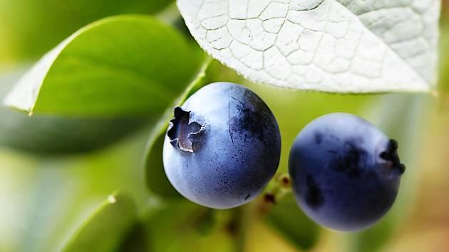 Plody kanadských borůvek.