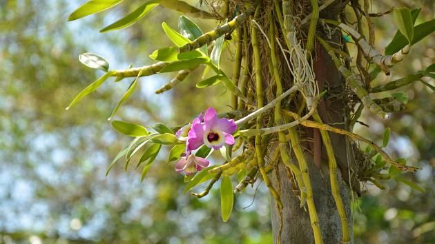Dendrobium patří mezi epifytické orchideje rostoucí na větvích pralesních stromů.