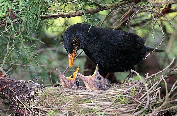 hnízdo kosa černého