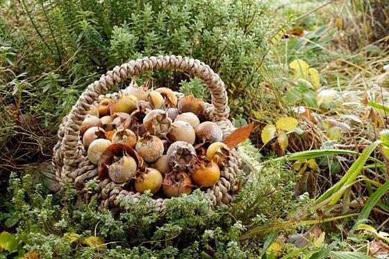 Prosincová sklizeň mišpulí
