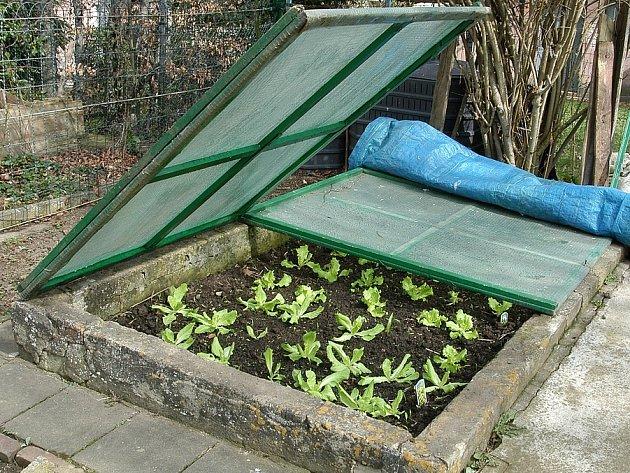 Mladé sazenice salátu v pařeništi