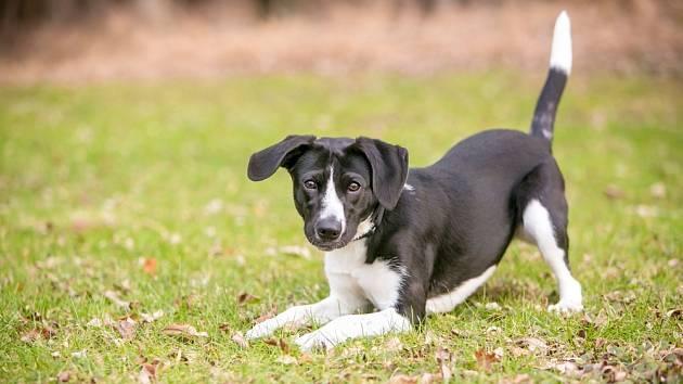 Součástí psí komunikace jsou i pohyby ocasu.