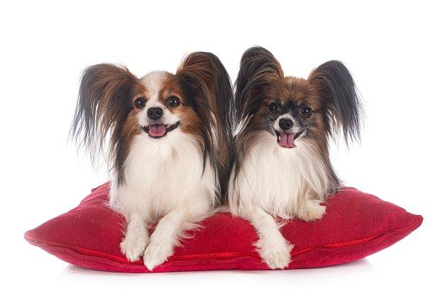 Papillon je francouzské psí plemeno, které získalo své nezvyklé označení kvůli tvaru a postavení uší.