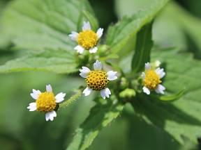 Pěťour maloúborný je stará indiánská léčivka