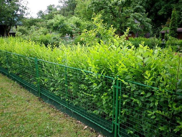 Pletivo lze zneprůhlednit a zkrášlit živým plotem