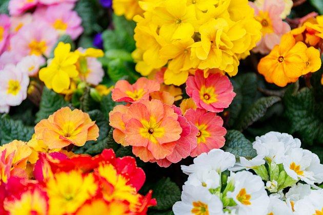 Primulky můžete sesadit do větší nádoby a hrát si s barvami