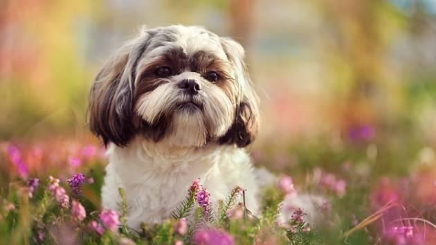 Shih-tzu, psík s tajemným jménem i původem.