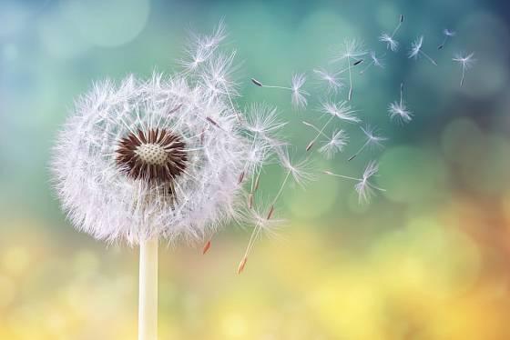 smetanka lékařská (Taraxacum officinale) a její větrem se šířící semena