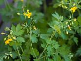 Vlaštovičník větší (Chelidonium majus)