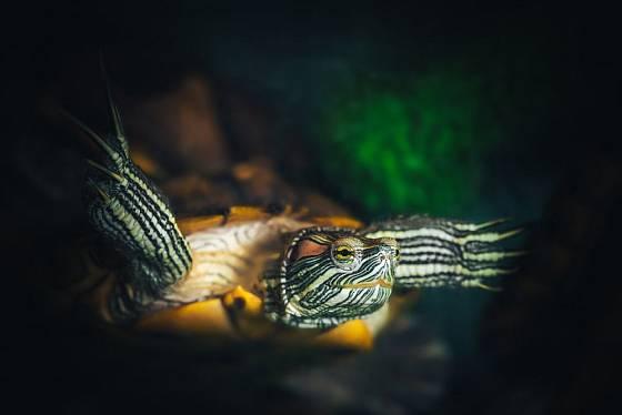 Želva nádherná je zdatná plavkyně a potapěčka