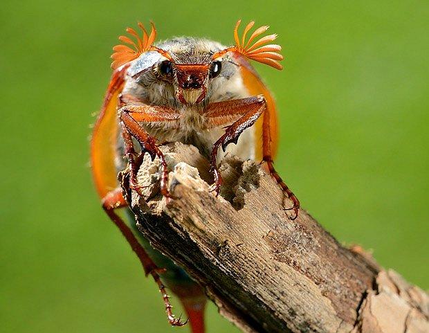 chroust obecný ( Melolontha melolontha)