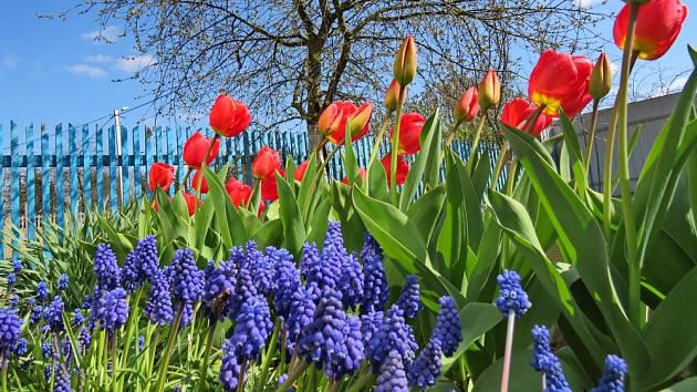 Okrasné cibuloviny na jaře zpestří zahradu.