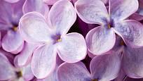 detail květů šeříku