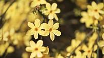 jasmín nahokvětý (Jasminum nudiflorum)