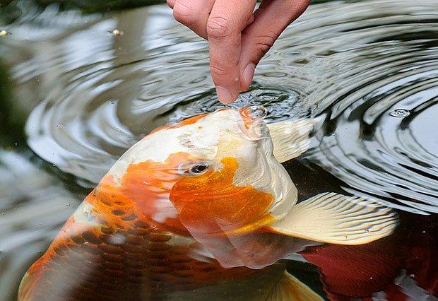 Kapr Koi má jiné nároky, než naše původní druhy ryb