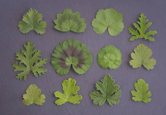 Muškáty mají nejen rozmanité květy, ale také listy.