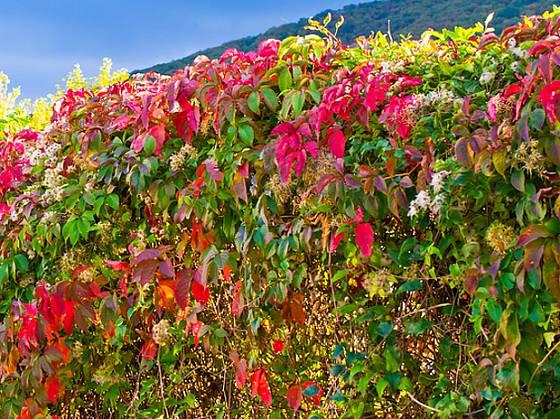 Popínavé přísavníky se na podzim krásně vybarvují