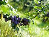 Ovocné stromy vyžadují naši péči neustále, a to i v červnu.