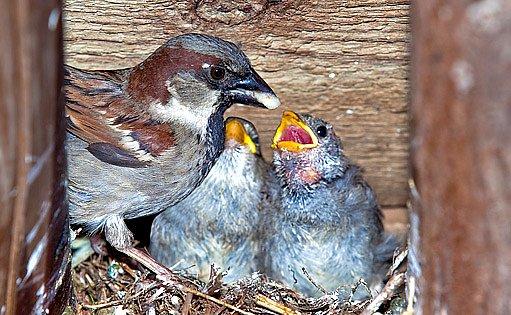 Vrabec domácí krmí svá mláďata v budce
