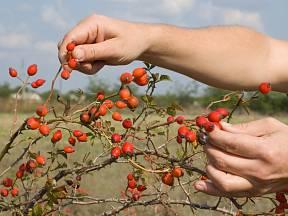 Pro sušení je vhodné šípky sbírat od konce září do poloviny října.