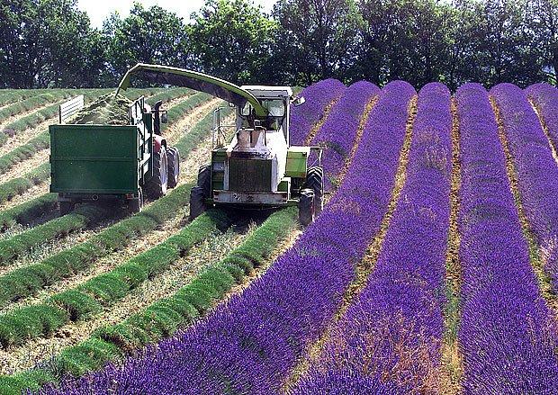 Korba traktoru se plní levandulovými květy