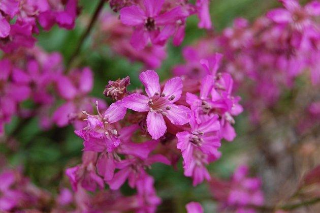 Květenství smolničky vynikají zářivou barvou