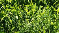 Svízel přítula je odolný vůči zastínění, a proto se může vyskytovat i v hustých porostech.