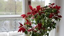 Vánoční hvězdu můžeme pěstovat i více let.