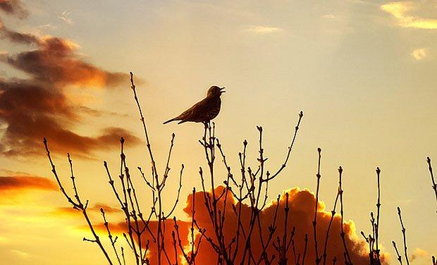 Ptáci pořádají koncerty ranní i večerní